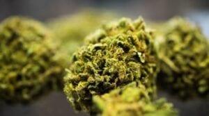 Jakie surowce z marihuaną aktualnie dostępne są w Polsce? [Q&A]