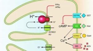 Mechanizm działania pompy protonowej