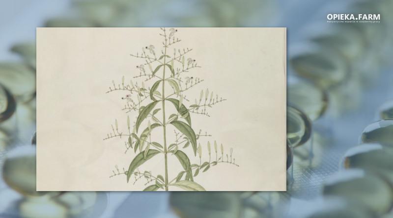 Brodziuszka wiechowata (Andrographis paniculata)