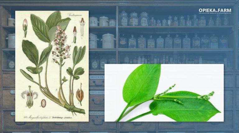 Bobrek trójlistkowy – Menyanthes trifoliata L.