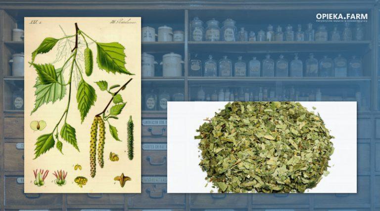 Brzoza brodawkowata – Betula verrucosa Ehrh.