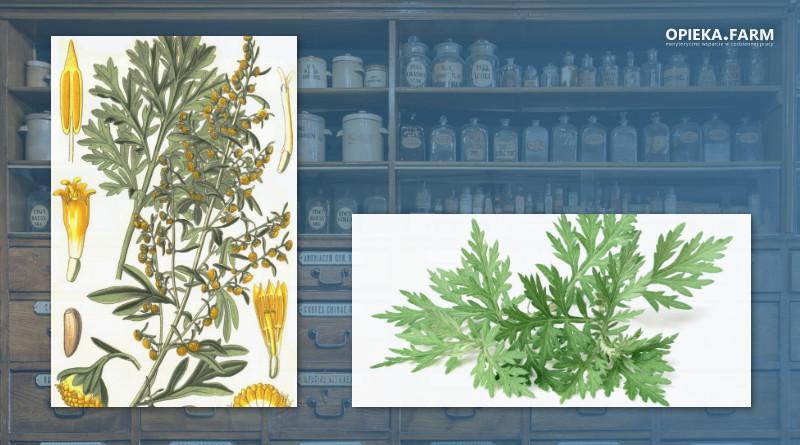 Bylica piołun – Artemisia absinthium L.