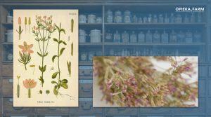 Centuria pospolita – Centaurium erythraea