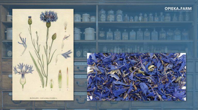 Chaber bławatek – Centaurea cyanus