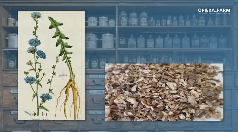 Cykoria podróżnik – Cichorium intybus