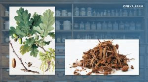 Dąb szypułkowy – Quercus robur