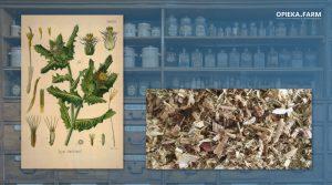 Drapacz lekarski – Cnicus benedictus