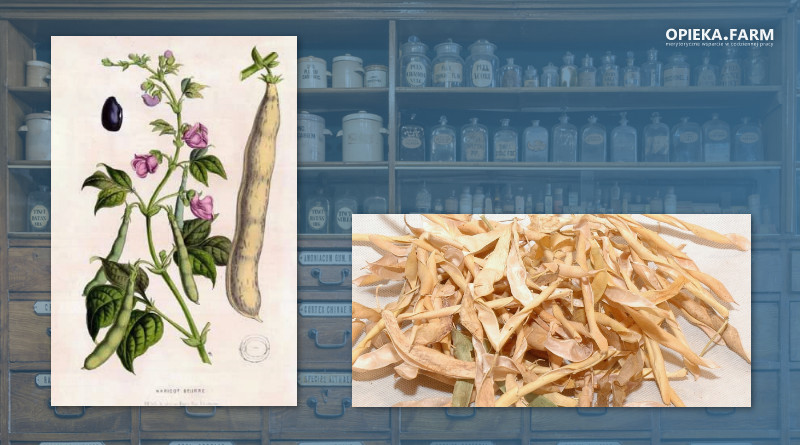 Fasola zwyczajna – Phaseolus vulgaris