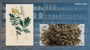 Glistnik jaskółcze ziele – Chelidonium majus