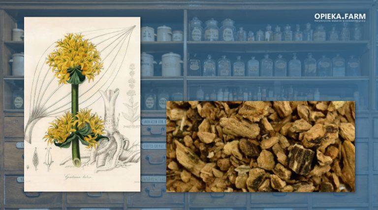 Goryczka żółta – Gentiana lutea
