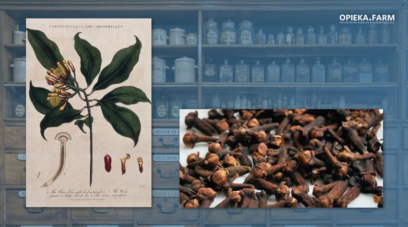 Goździkowiec korzenny – Syzygium aromaticum