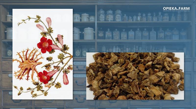 Hakorośl rozesłana – Harpagophytum procumbens