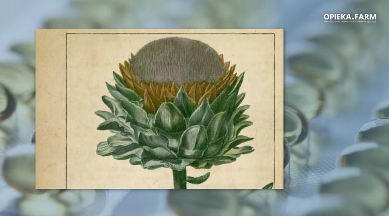 Karczoch zwyczajny (Cynara scolymus)