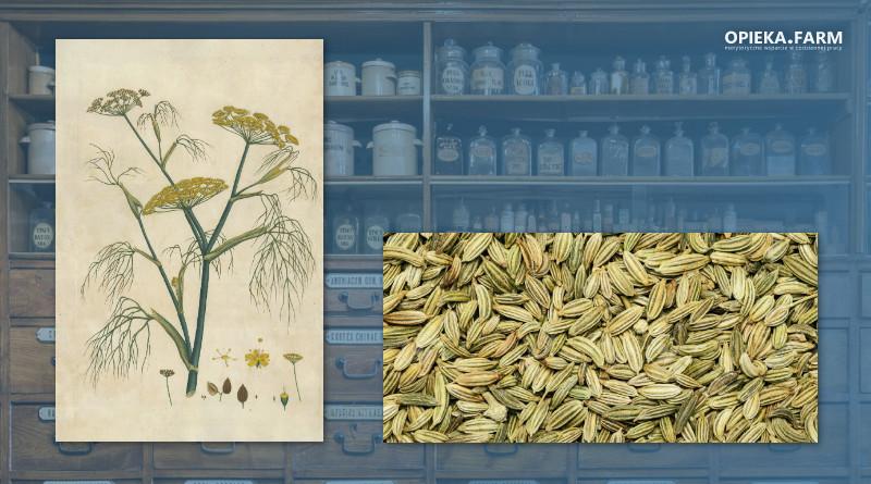 Koper włoski – Foeniculum vulgare