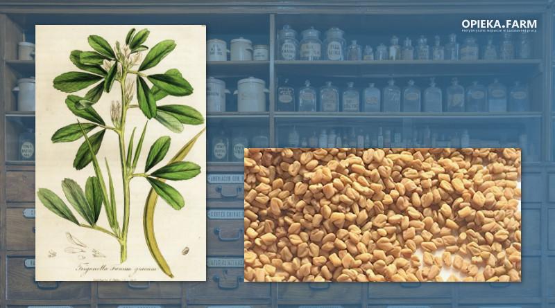 Kozieradka pospolita – Trigonella foenum-graecum