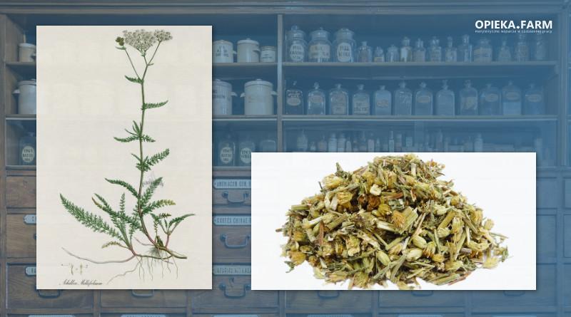 Krwawnik pospolity – Achillea millefolium