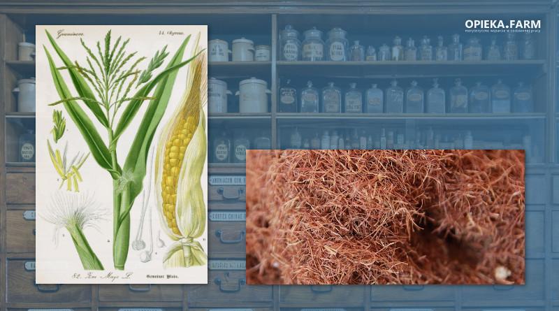 Kukurydza zwyczajna – Zea mays