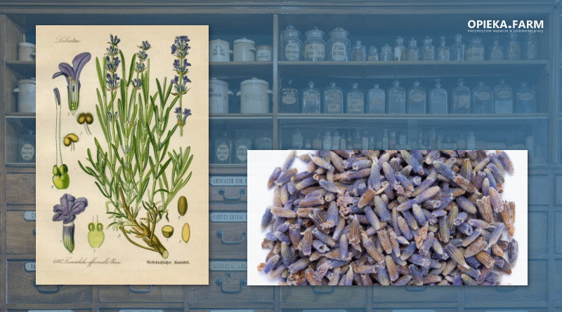 Lawenda wąskolistna – Lavandula angustifolia