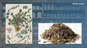 Macierzanka piaskowa – Thymus serpyllum