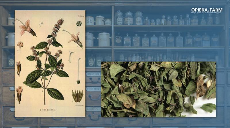 Mięta pieprzowa – Mentha pipperita