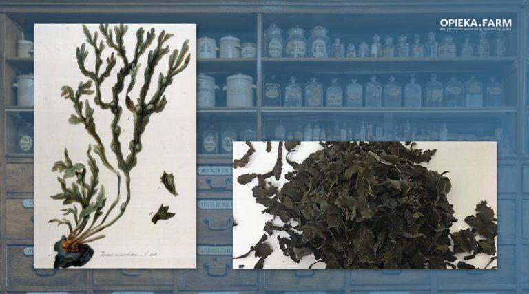 Morszczyn pęcherzykowaty – Fucus vesiculosus
