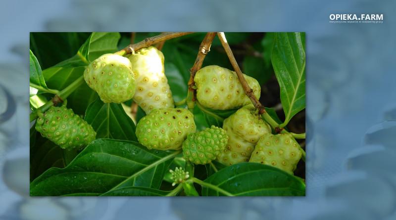 Owoce Noni