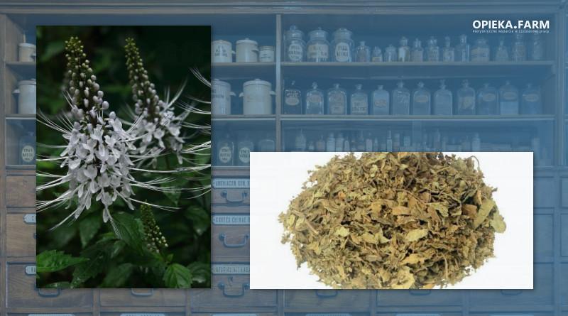 Ortosyfon groniasty – Orthosiphon aristatus