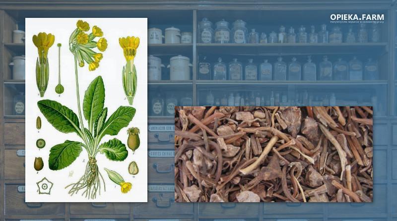 Pierwiosnek lekarski – Primula veris