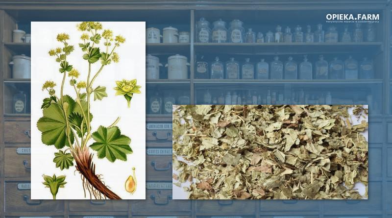 Przywrotnik pospolity – Alchemilla vulgaris