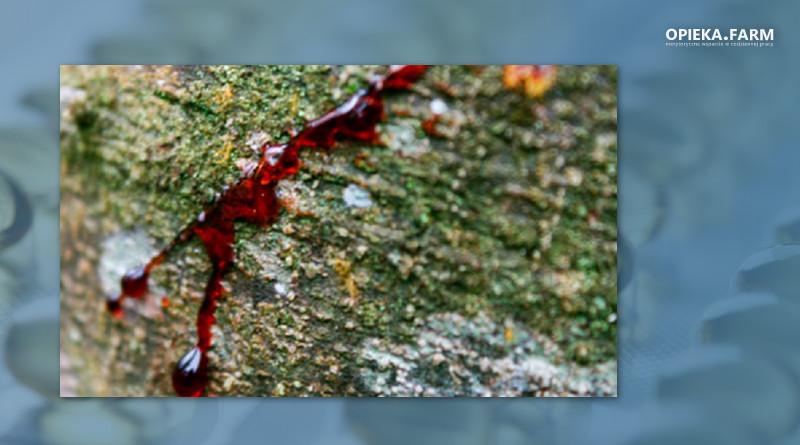 Croton lechleri Müll. Arg