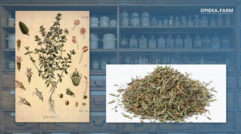 Tymianek pospolity – Thymus vulgaris