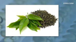 Zielona herbata - świeże i suszone liście