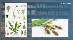 Babka lancetowata – Plantago lanceolata