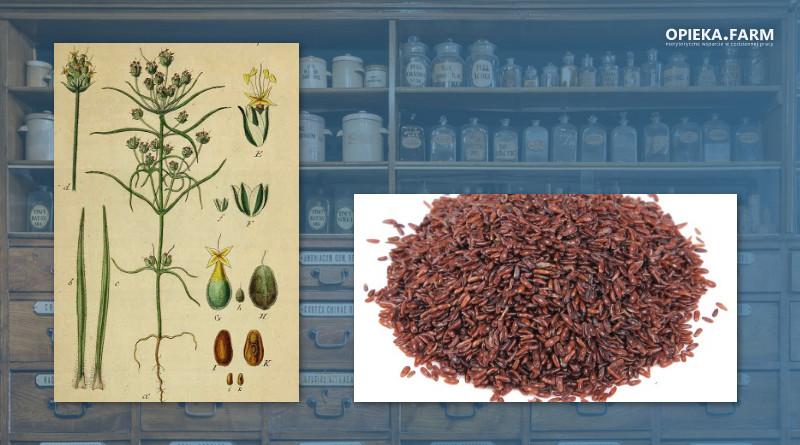 Babka płesznik - Plantago psyllium L.
