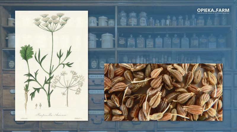 Biedrzeniec anyż – Pimpinella anisum