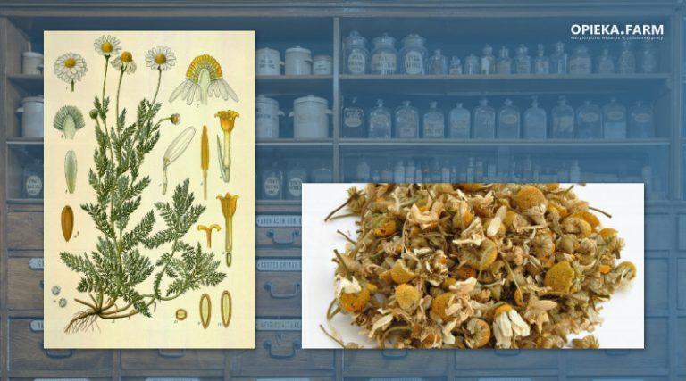 Rumianek pospolity – Matricaria chamomilla