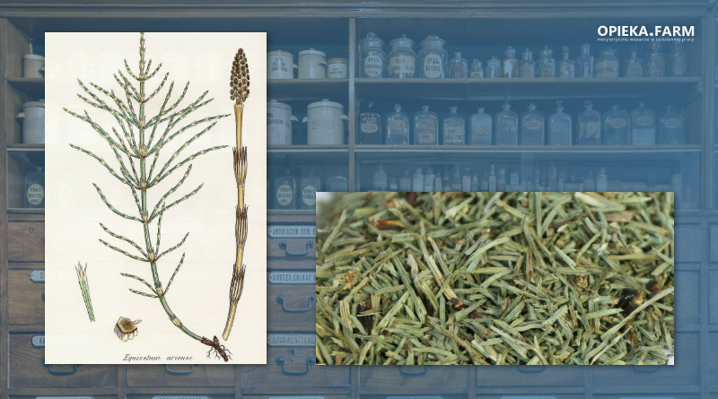 Skrzyp polny – Equisetum arvense