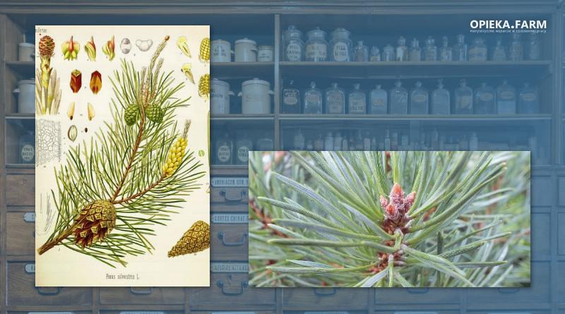Sosna zwyczajna – Pinus silvestris