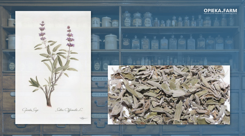 Szałwia lekarska – Salvia officinalis