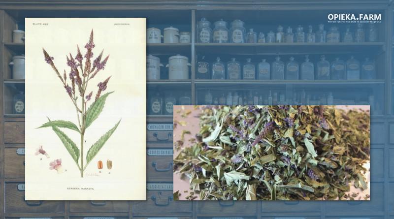 Werbena pospolita – Verbena officinalis