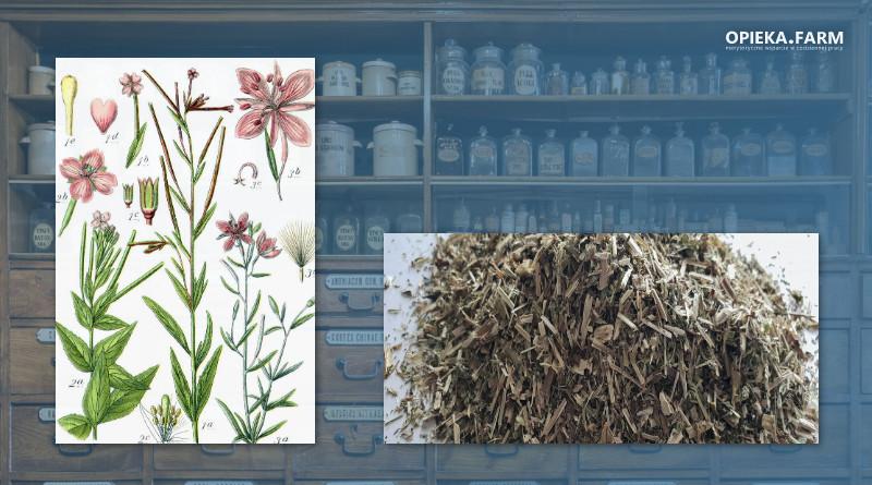 Wierzbownica drobnokwiatowa – Epilobium parviflorum