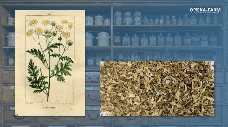 Złocień maruna - Tanacetum parthenium